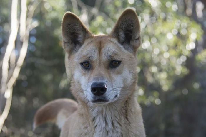 Sandy the Dingo