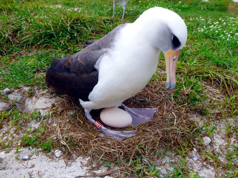 Wisdom The Oldest Known Albatross Is Having Another Baby Smart