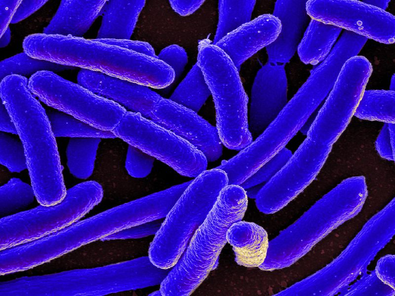 Scientists Create 'E. Coli' Bacteria With Completely Synthetic Genome