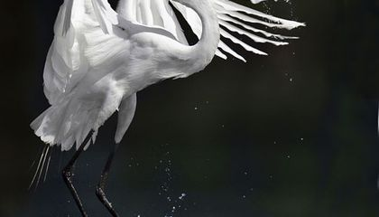 Picture of the Week—Great Egret
