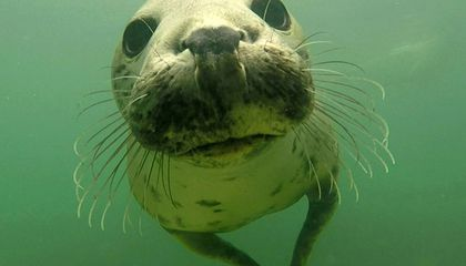 In a First, Scientists Film Wild Grey Seals Clapping to Show Their Strength