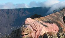 Picture of the Week—Pink Iguana