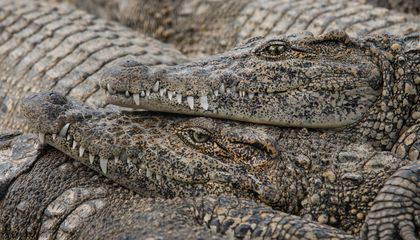 The Quest to Preserve the Last of Castro's Crocodiles