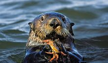Sea otter feasting on crab
