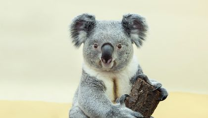 Koalas Use Ancient Viral DNA to Neutralize New Invaders