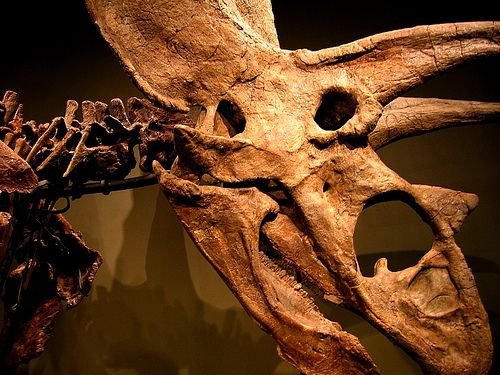 20110520083256titanoceratops-skull-sam-noble.jpg