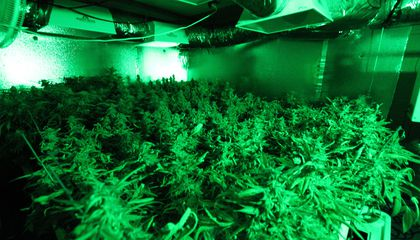 Growing an Ounce of Pot Indoors Can Emit as Much Carbon as Burning a Full Tank of Gas