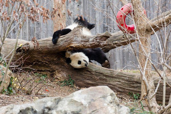Bao Bao's last day at the National Zoo