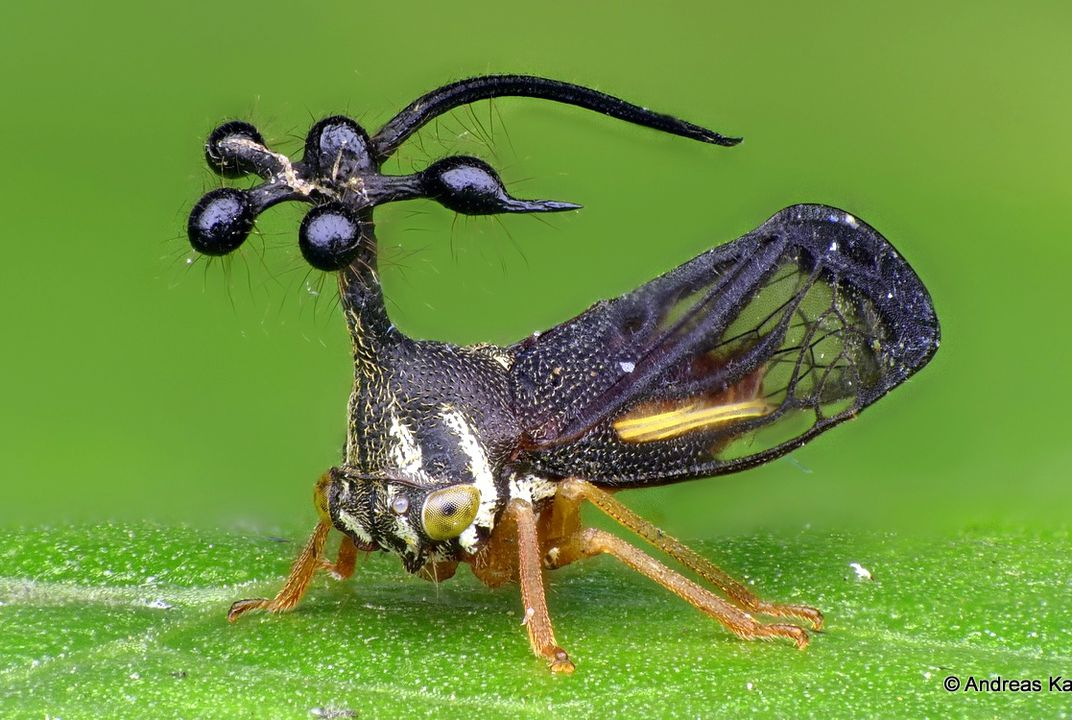 Treehoppers' Bizarre, Wondrous Helmets Use Wing Genes to Grow