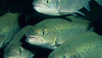 Why Washington State Is Phasing Out Atlantic Salmon Farming