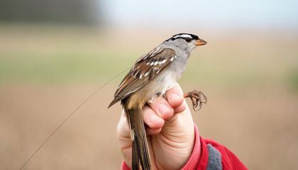 Common Pesticides Delay Songbird Migration, Trigger Significant Weight Loss