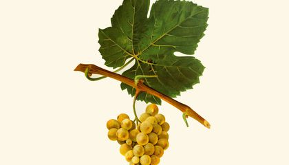 Ancient Grape DNA Tells the Prolific History of Wine
