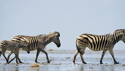 Zebras at Makgadikgadi Pans National Park
