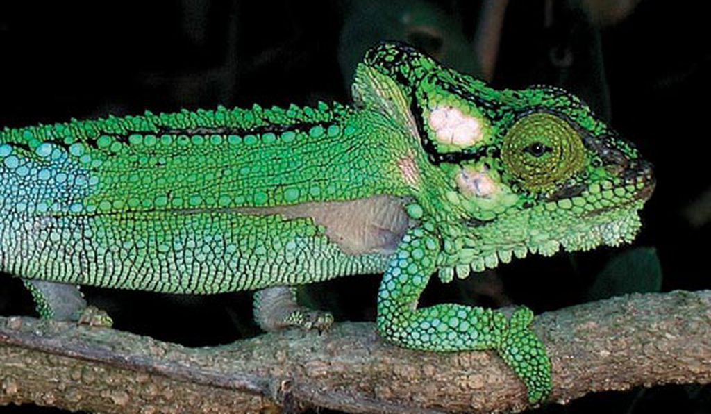A Knysna dwarf chameleon (Bradypodion damaranum) displays a combination of visible greens and ultraviolet greens.