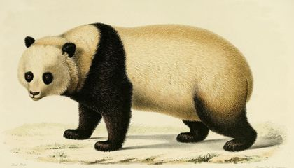 How America Fell in Love With the Giant Panda