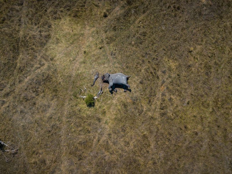 An aerial view of an African elephant poached for ivory in northern Botswana. Poachers used a chainsaw to cut off the trunk and tusks, just 20 minutes away from a nearby camp. Poaching in Botswana is increasing rapidly, with an estimated increase of carcasses by 593% in the northern parts of the country from 2014 to 2018.