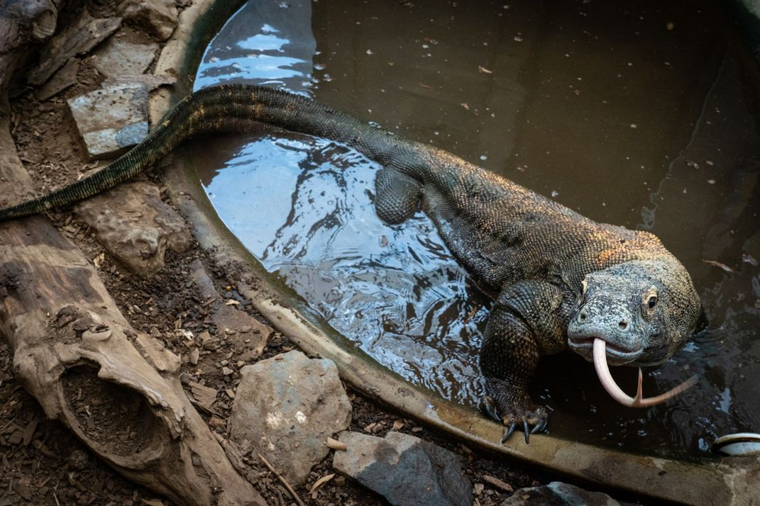 An adult Komodo dragon with a heavy body, scaly skin, claws and a forked tongue stands in a small pool of water