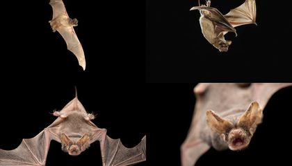 These Bats Use Sonar to Jam the Signals of Their Rivals
