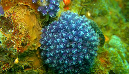 Clavelina puertosecensis, a species of tunicate, taken by Shih Wei, a student of the Tunicates course at the Bocas del Toro Research Station, in Panama. Experts teach courses and create instructional videos on how to collect, preserve and observe marine invertebrate groups. (Credit: STRI)