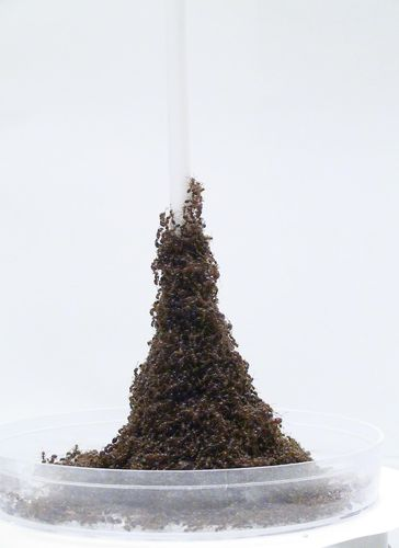 Caption: How Fire Ants Build Incredible Writhing Towers
