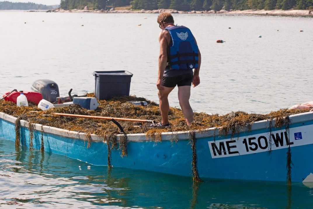 A harvester loads his skiff full of rockweed in Maine.