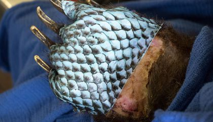 Wildlife Burned in California Fires Get Fish Skin Bandages