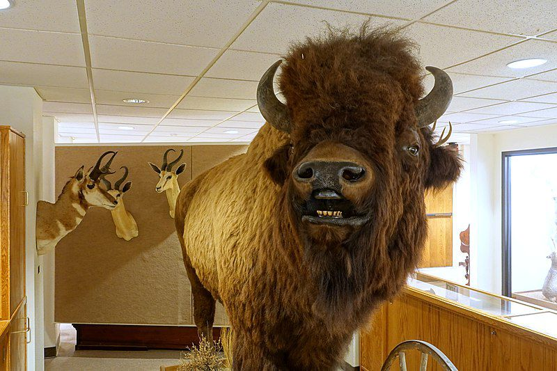 800px-Bison_bison_-_Mount_Angel_Abbey_Museum_-_Mount_Angel_Abbey_-_Mount_Angel,_Oregon_-_DSC00015.jpg