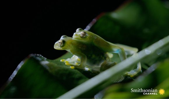 Preview thumbnail for video'Fascinating: How Transparent Glass Frogs Mate