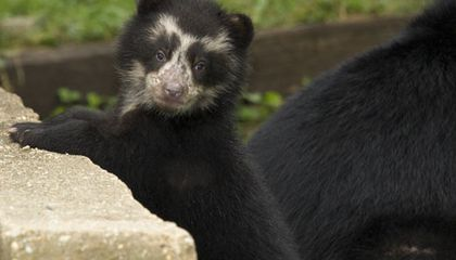 Get Your Vote On: Naming the Andean Bear Cubs