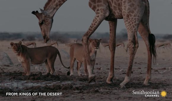 Preview thumbnail for video'This Giraffe Risks Everything by Drinking in Lion Territory