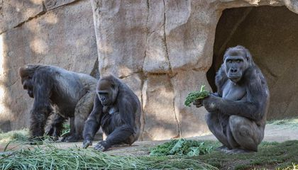 Gorillas at California Zoo Test Positive for Covid-19