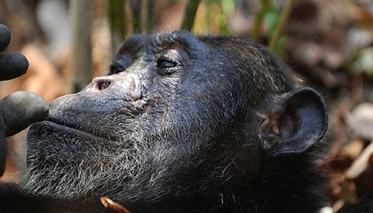 NIH Sends Almost One-Fifth of Its Research Chimpanzees Into Retirement