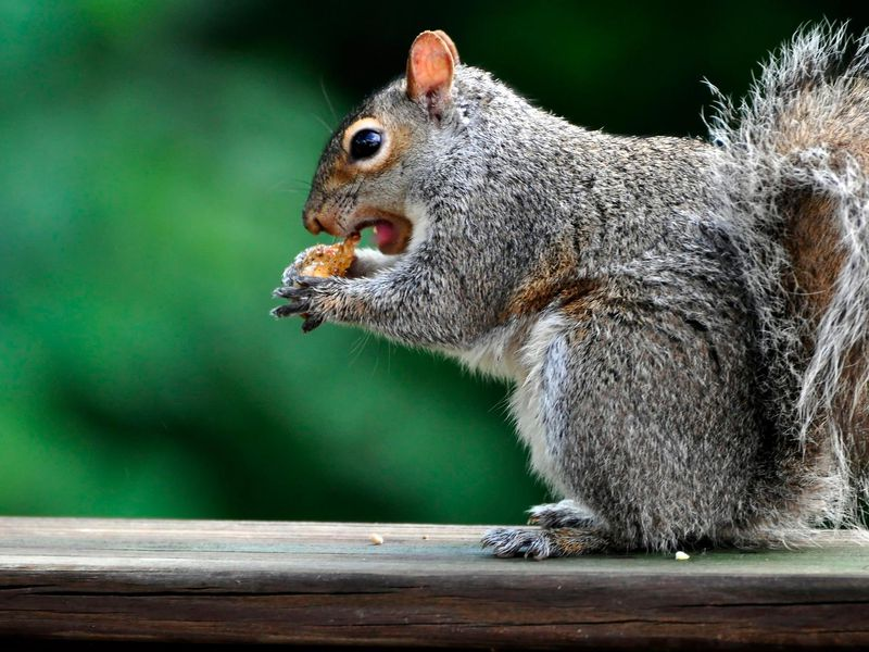 A close-up photo of a squirrel sitting on a wooden rail while holding a nut to its mouth. The squirrel has speckled gray and brown fur, and its mouth is open as it goes in for a bite. The background is green and black.