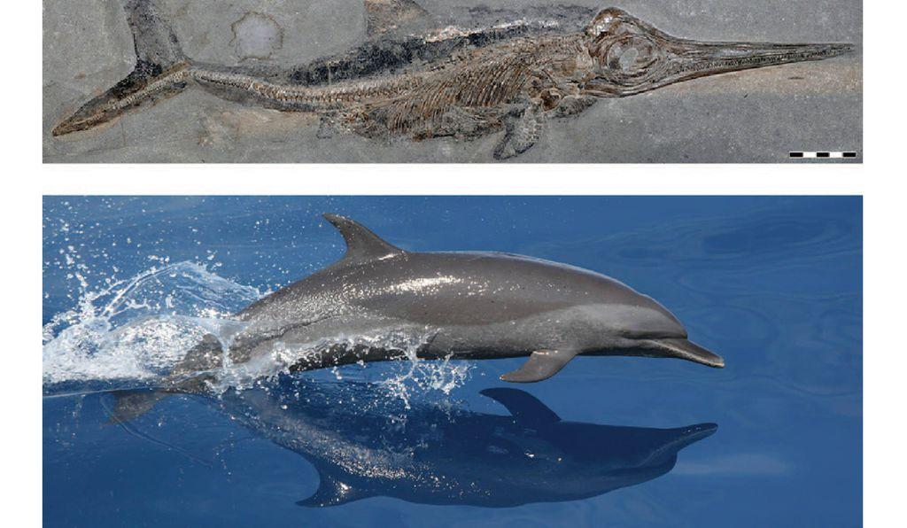 Separated in time by more than 50 million years, modern dolphins and extinct ichthyosaurs descended from different terrestrial species but still developed a similar fish-like body.