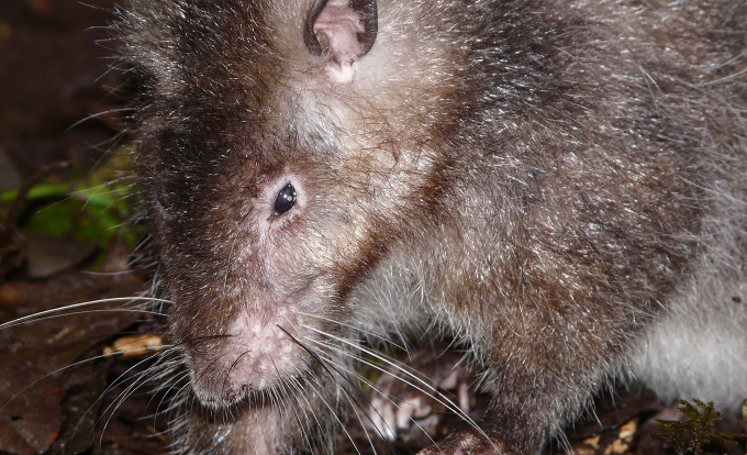 Stumbling upon a new species of giant, woolly rat