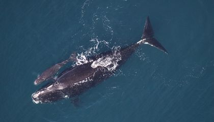 Satellites Spot Whales From Space