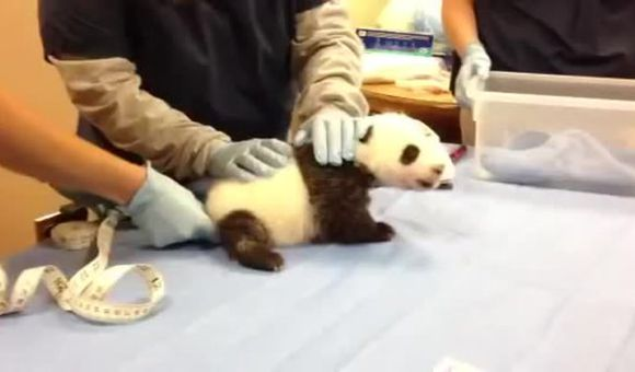 Preview thumbnail for video'Giant Panda Cub Is Almost Eight Weeks Old