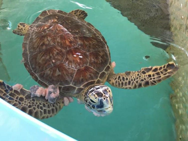 A patient that's gone through multiple rounds of surgery at the Whitney Sea Turtle Hospital.