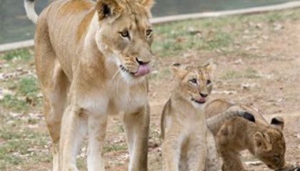The Lions in Winter: Cubs Get Their Names and Debut in Public