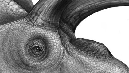 Paleontologists Welcome Xenoceratops to the Ceratopsian Family Tree