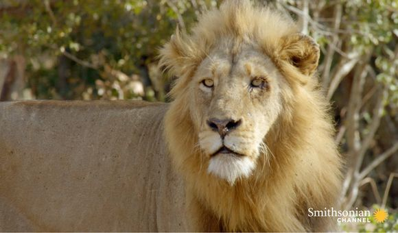 Preview thumbnail for video'What Lions Look for in the Perfect Prey
