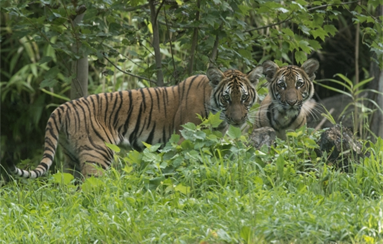 Nadia and her sister Azul as cubs at the Bronx Zoo.