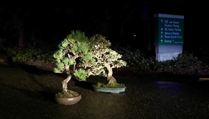Two Stolen Bonsai Trees 'Mysteriously' Returned to Washington State Museum