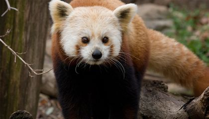 Shama, the Red Panda, Has Died