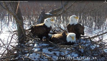 Watch Live as a Rare Bald Eagle 'Throuple' Raises Their New Trio of Chicks