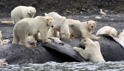 Polar Bears May Soon Feast on Whale Carcasses. Global Warming is to Blame.