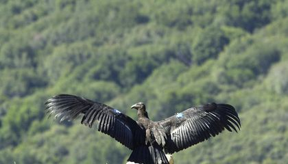 Condors: Back From the Brink