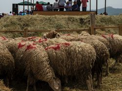 Sheep Shearing Festival image