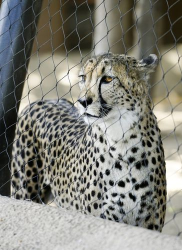 Caption: Why Cheetahs Hate Cages