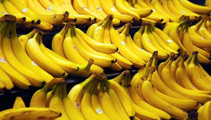 A Banana-Destroying Fungus Has Arrived in the Americas